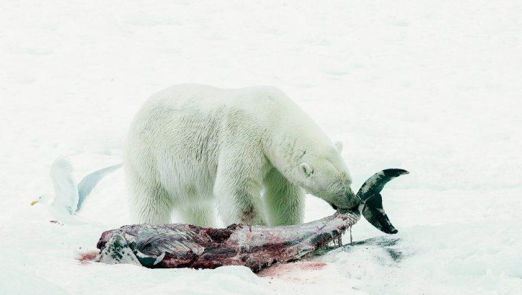 Oso polar devora un delfín de hocico blanco en las islas Svalbard. (Foto Prensa Libre:AP).   AP