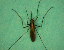 El mosquito Aedes atlanticus es el vector del virus Keystone que fue contagiado a humanos por primera vez. (Foto Prensa Libre, mosquito-va.org).