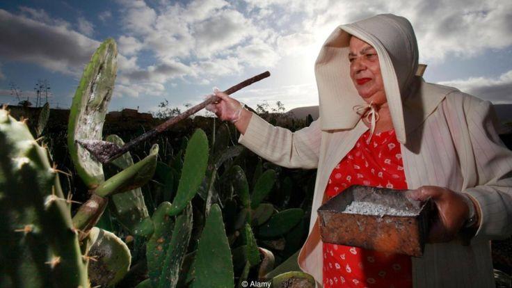 La cochinilla es un insecto hemíptero parásito de plantas perteneciente a la familia Dactylopidae, como los nopales o tunas. ALAMY
