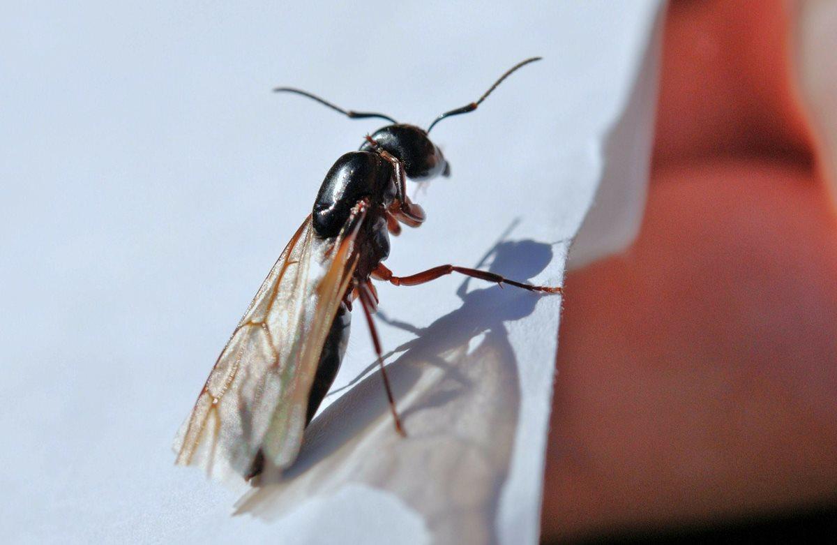 Los machos y hembras fértiles son los únicos que poseen alas. (Foto: Pixabay).