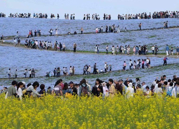 Decenas de visitantes llegan al Parque Hitachi de Hitachinaka, en Japón, el 3 de mayo para disfrutar del espectáculo que ofrecen las plantas del género Nemophila en flor. Se calculan que hay más de 4,5 millones de ellas en estos jardines. KAZUHIRO NOGIKAZUHIRO / AFP