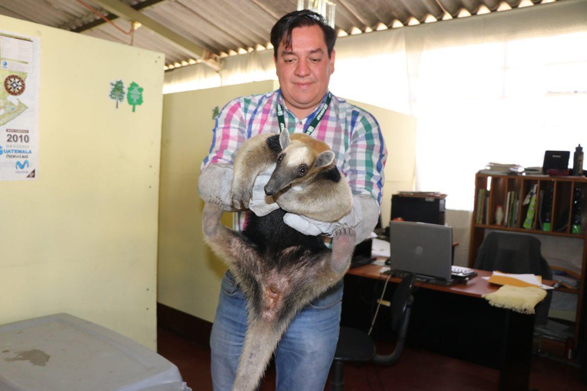 Oso hormiguero rescatado en Coatepeque está en riesgo de morir