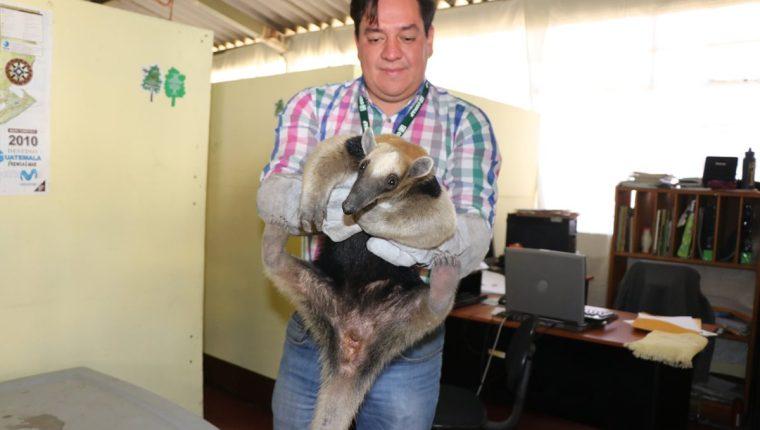 El oso hormiguero rescatado en Coatepeque permanece en las instalaciones del Conap. (Foto Prensa Libre: Whitmer Barrera)