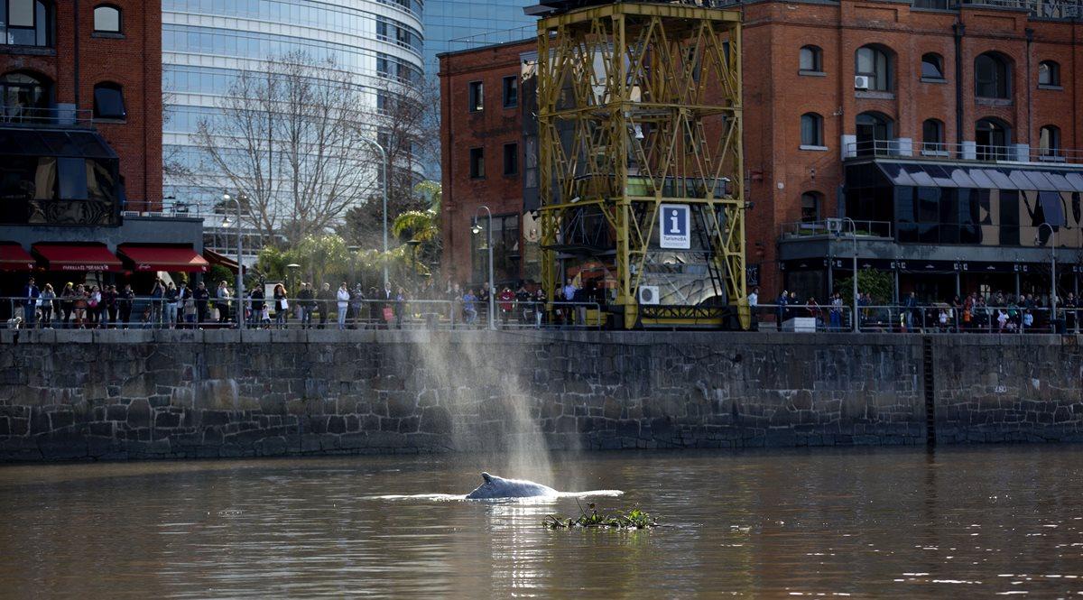 Guían a ballena fuera de lujosa marina de Buenos Aires hacia mar abierto