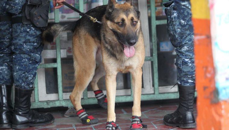 """""""Back"""" fue el agente canino que apoyó este lunes durante un operativo en zona 1. (Foto Prensa Libre: Erick Ávila)"""