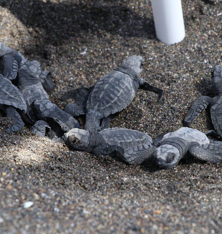 Algunas de las tortugas que son liberadas por el Tortugario El Banco, en Taxisco, Santa Rosa. (Foto Prensa Libre: Enrique Paredes).
