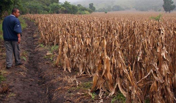 La falta de lluvia de este año dañó los cultivos y afectó a los agricultores. (Foto Prensa Libre: Hemeroteca PL)