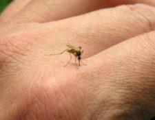 El zancudo Aedes aegypti es el portador y transmisor del virus del zika, dengue y chinkungunya. (Foto Prensa Libre: Hemeroteca PL)