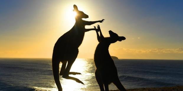 Las autoridades australianas han tomado medidas contra los canguros, por amenazar las fuentes de agua y comida de la población, debido a la sequía. (Foto Prensa Libre: EFE)