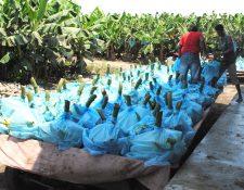 Los precios de los principales productos agrícolas de exportación se mantienen a la baja que incidirán en la producción este año. (Foto Prensa Libre: Hemeroteca)