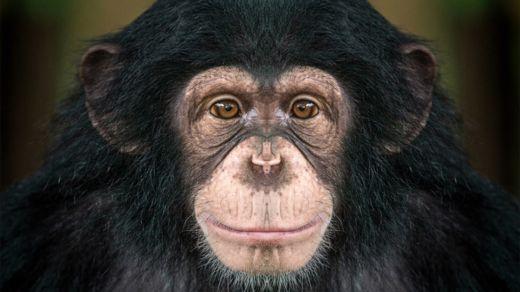 Los chimpancés también nos observan, de acuerdo al estudio que ganó el premio de antropología (Foto Prensa Libre: GETTY IMAGES).