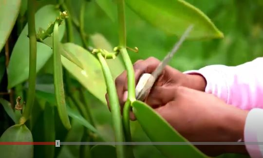 Vainilla: el codiciado sabor que provoca robos y asesinatos en Madagascar