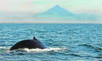 Para el avistamiento de ballenas es necesarios adentrarse en el mar. (Foto Hemeroteca PL)