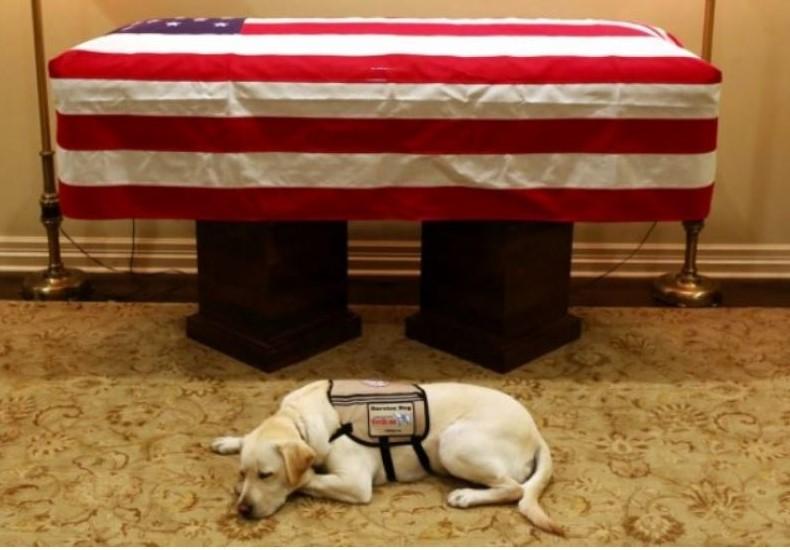 Sully, el perro de servicio que trabajó para el fallecido expresidente George H. W. Bush (1989-1993), descansa junto al féretro de Bush padre en Houston, Texas. (Foto Prensa Libre: EFE)