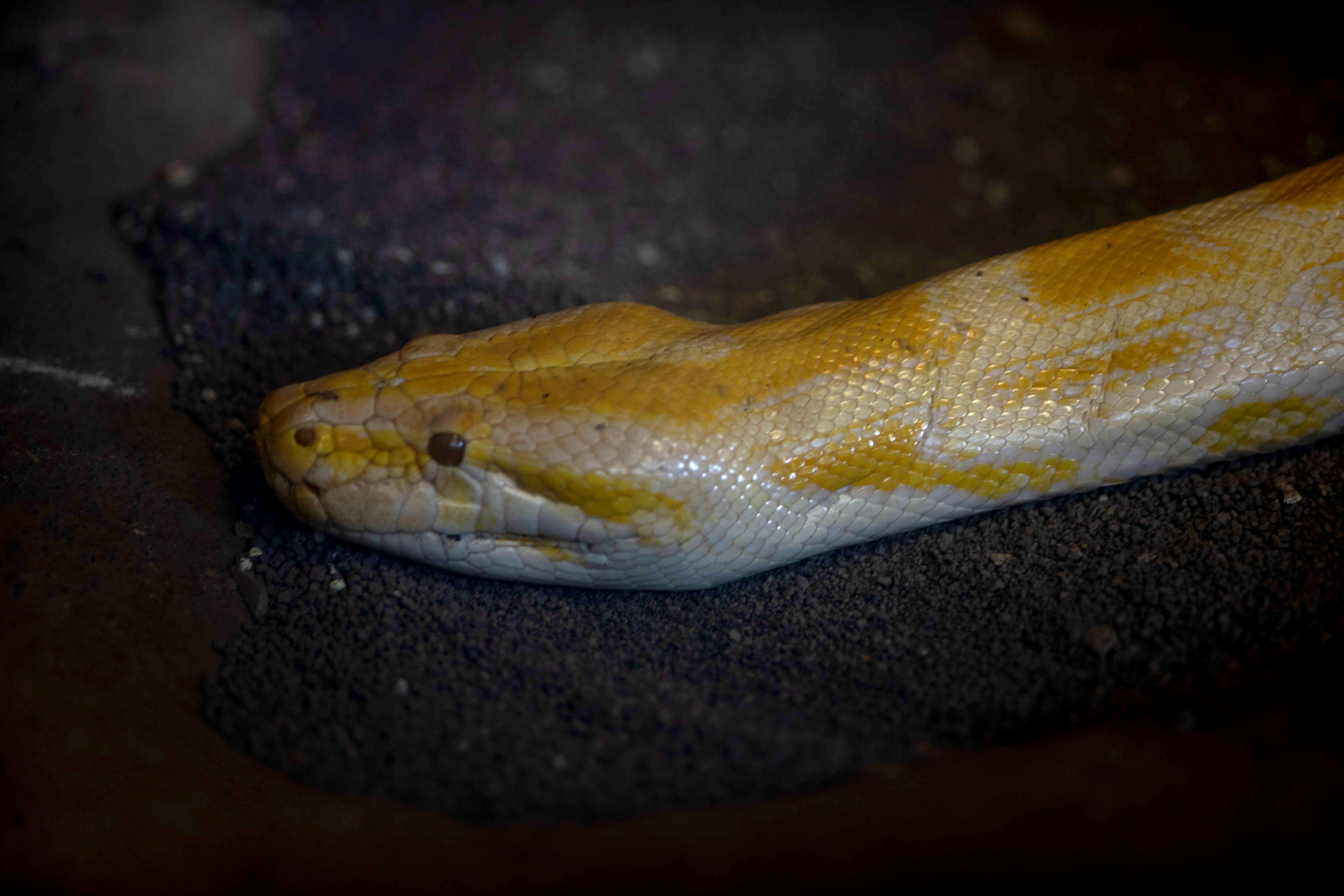 AME5392. MANAGUA (NICARAGUA), 29/01/2019.- Una boa constrictor es vista este martes en el Zoológico Nacional en Managua (Nicaragua), donde permanecen 945 especies en protección, mientras esperan para ser liberadas. EFE/Jorge Torres