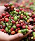 el mercado asiático representa el 23% de las exportaciones de café de Guatemala. (Foto Prensa Libre: Hemeroteca)