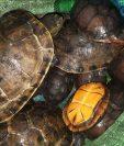 Efectivos de Diprona hallaron y rescataron a 25 tortugas que estaban dentro de bolsas, en bus que ingresaba a Xela. (Foto Prensa Libre: PNC)