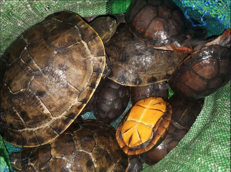 Rescatan a 25 tortugas y tres lagartos en un bus que ingresaba a Xela desde la Costa Sur