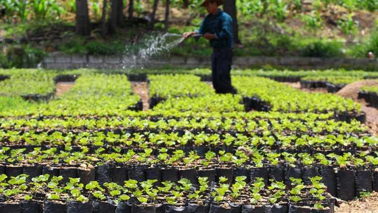 La cosecha de café empieza oficialmente este 1 de octubre con la expectativa de producir 4.5 millones quintales de café oro. (Foto Prensa Libre: Hemeroteca)
