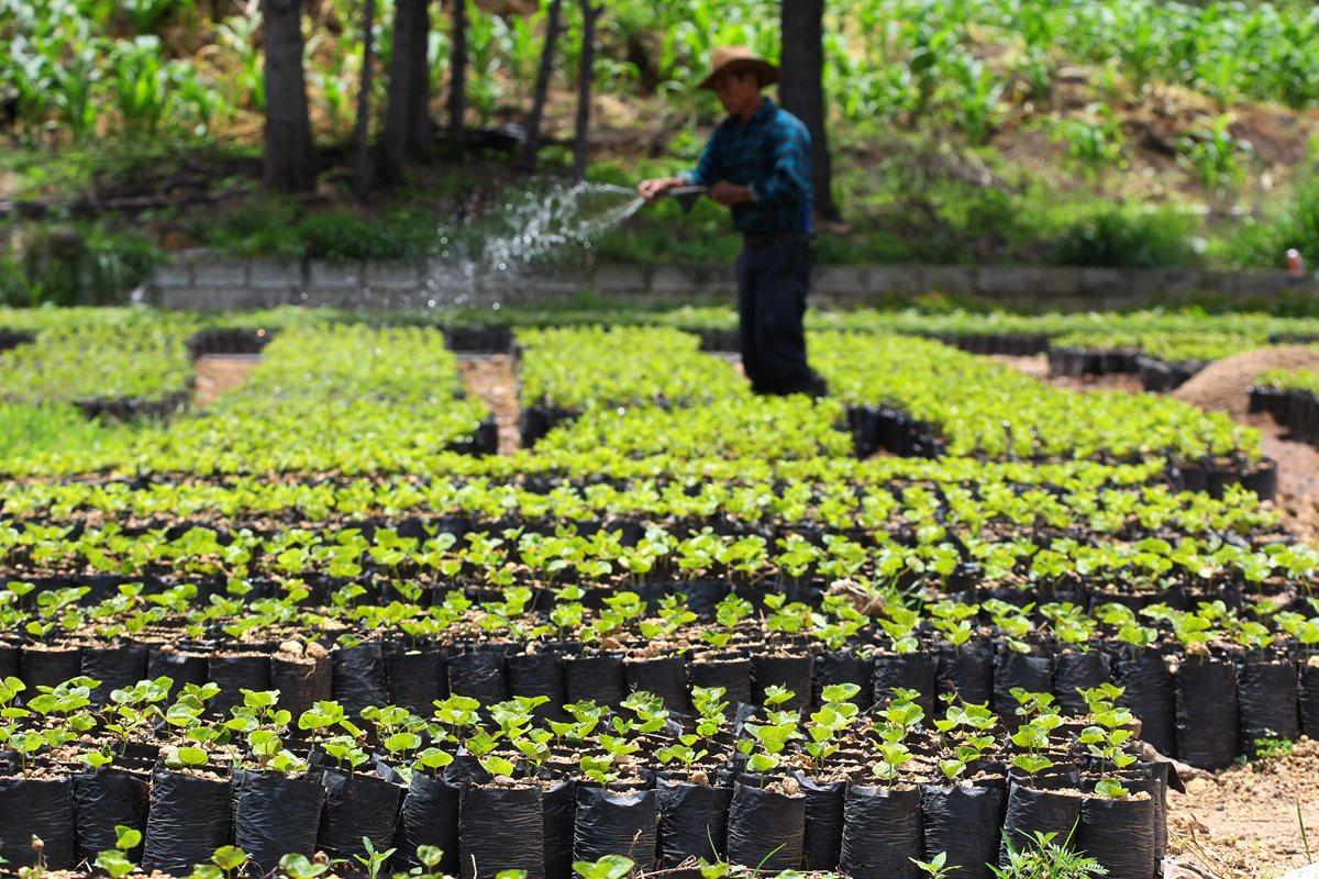 Caficultores proyectan exportar 4.5 millones de quintales en nueva cosecha