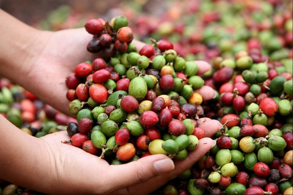 Cosecha de café cierra con crecimiento de 7.7%