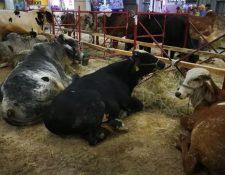 Durante la Semana del Ganadero y Expoleche se exhibirán diferentes tipos de ganado tanto local como internacional. (Foto Prensa Libre: Hemeroteca)