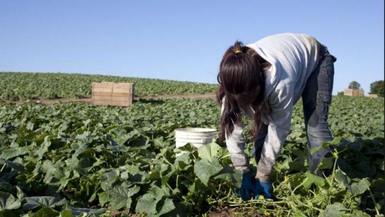 La prevalencia del trabajo infantil en la agricultura perpetúa el ciclo de pobreza rural de niños, niñas y adolescentes, sus familias y comunidades, dice la FAO. (Foto Prensa Libre: www.hrw.org)