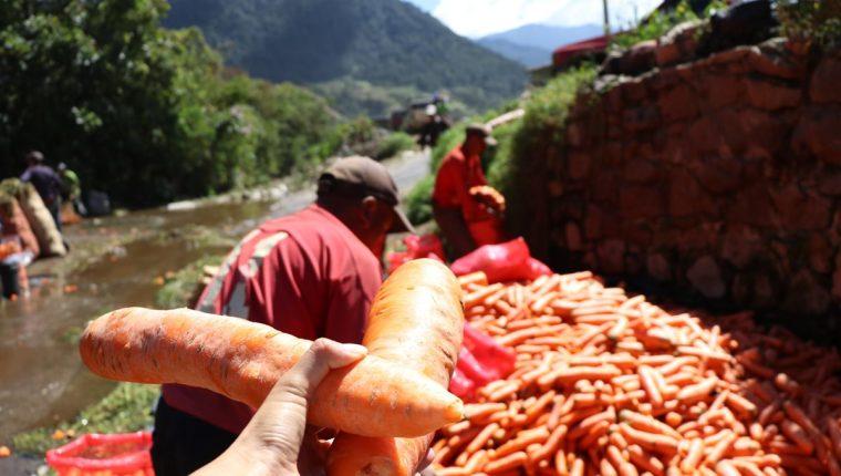 El agricultor Juan Carlos García muestra las zanahorias de 25 centímetros que se cultivan en Almolonga. (Foto Prensa Libre: María Longo)