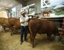 El país registra un crecimiento de ganado genético de la raza Senepol que es actualmente reconocida como la única raza Bos taurus adaptada al trópico más cálido. (Foto Prensa Libre: Esbin García)