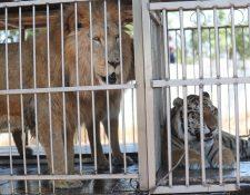Los felinos no podrán ser utilizados en los espectáculos de circos, según la ley. (Foto Prensa Libre: Hemeroteca PL).