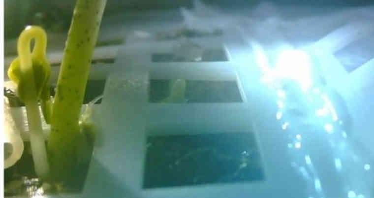 Brote de semilla de algodón que germinó en la Luna. (Foto Prensa Libre: EFE)