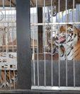 Una de las jaulas en las que permanecen los tigres en El Jocotillo, Villa Canales. (Foto Prensa Libre: Estuardo Paredes).