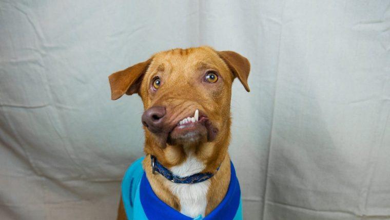 Picasso nació con la mandíbula torcida y fue salvado de la eutanasia en EE. UU. (Foto Prensa Libre: Luvable Dog Rescue).