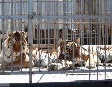 La mayoría de felinos y otros animales aún permanecen en poder de tres circos. (Foto Prensa Libre: Hemeroteca)