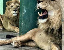 Tomás y Guapo ya se encuentran en el zoológico La Aurora, donde tendrán una segunda oportunidad de vivir. (Foto: Facebook/Zoológico La Aurora).