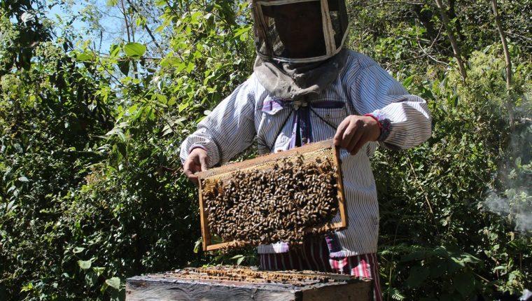 La crianza de abejas para producción de miel requiere de cuidados especiales. (Foto Prensa Libre: Mike Castillo)