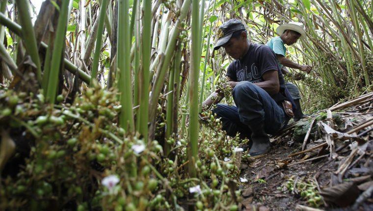 Cinco departamento producen cardamomo que se destina a los países del Medio Oriente de Asia. (Foto Prensa Libre: Hemeroteca PL)