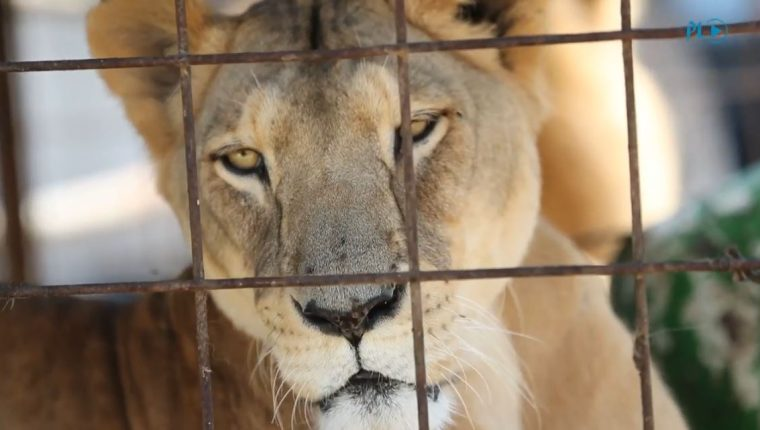 Se desconoce qué pasará con unos 50 felinos, propiedad de circos, que deberán ser devueltos. (Foto Prensa Libre: Érick Ávila)