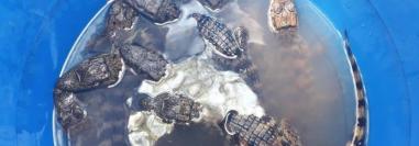 Los caimanes que fueron localizados abandonados en Moyuta. (Foto Prensa Libre: Conap).