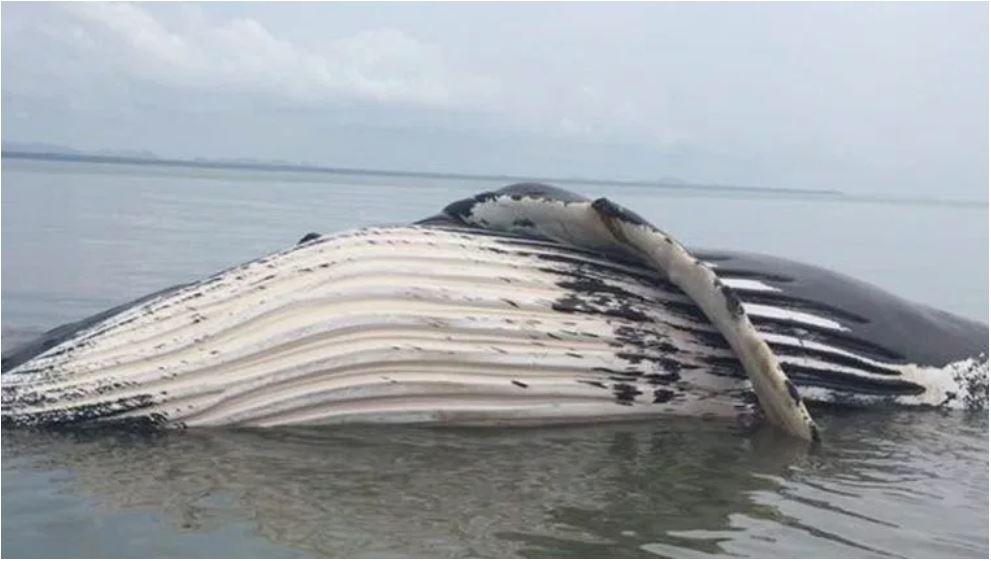 Ballena jorobada fue localizada sin vida en una playa beliceña. (Foto Prensa Libre: Cortesía).