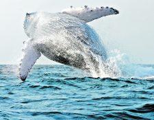 Una ballena puede llegar a medir más de 20 metros de largo. (Foto Hemeroteca PL)