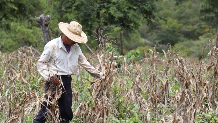 Una temporada de lluvia corta puede afectar los cultivos de campesinos pobres.  (Foto Prensa Libre: Hemeroteca PL)
