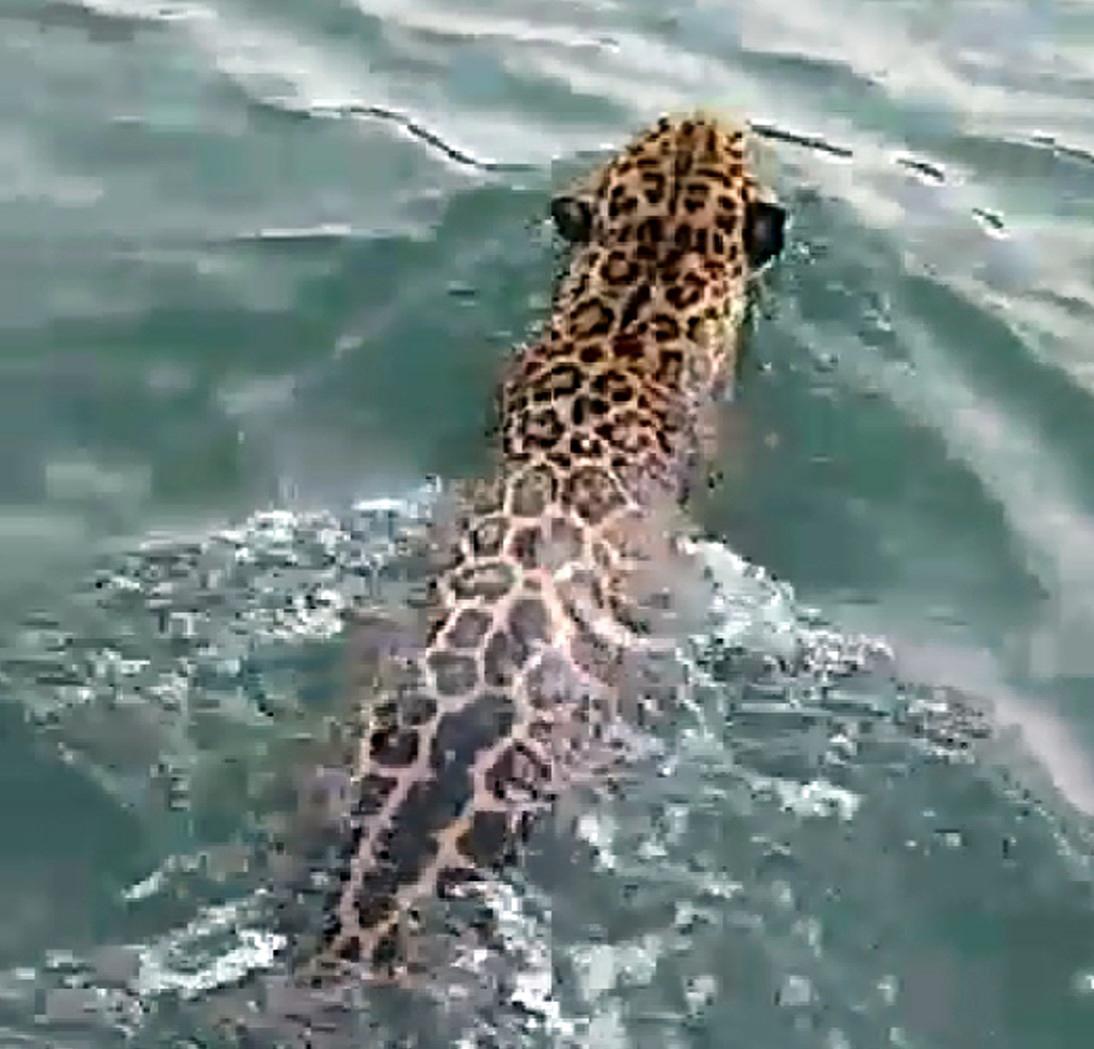 Turistas se asombran por jaguar que nadaba en el río Sarstún