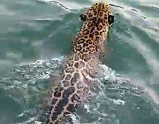 Turistas grabaron a un jaguar cuando nada en la zona limítrofe entre Guatemala y Belice. (Foto Prensa Libre: Cortesía)