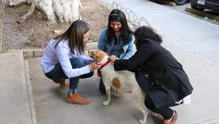 Voluntarias colocan el collar a uno de los perros que habita en el Cunoc, el propósito es identificarlo y que los alumnos conozcan su nombre. (Foto Prensa Libre: María Longo)