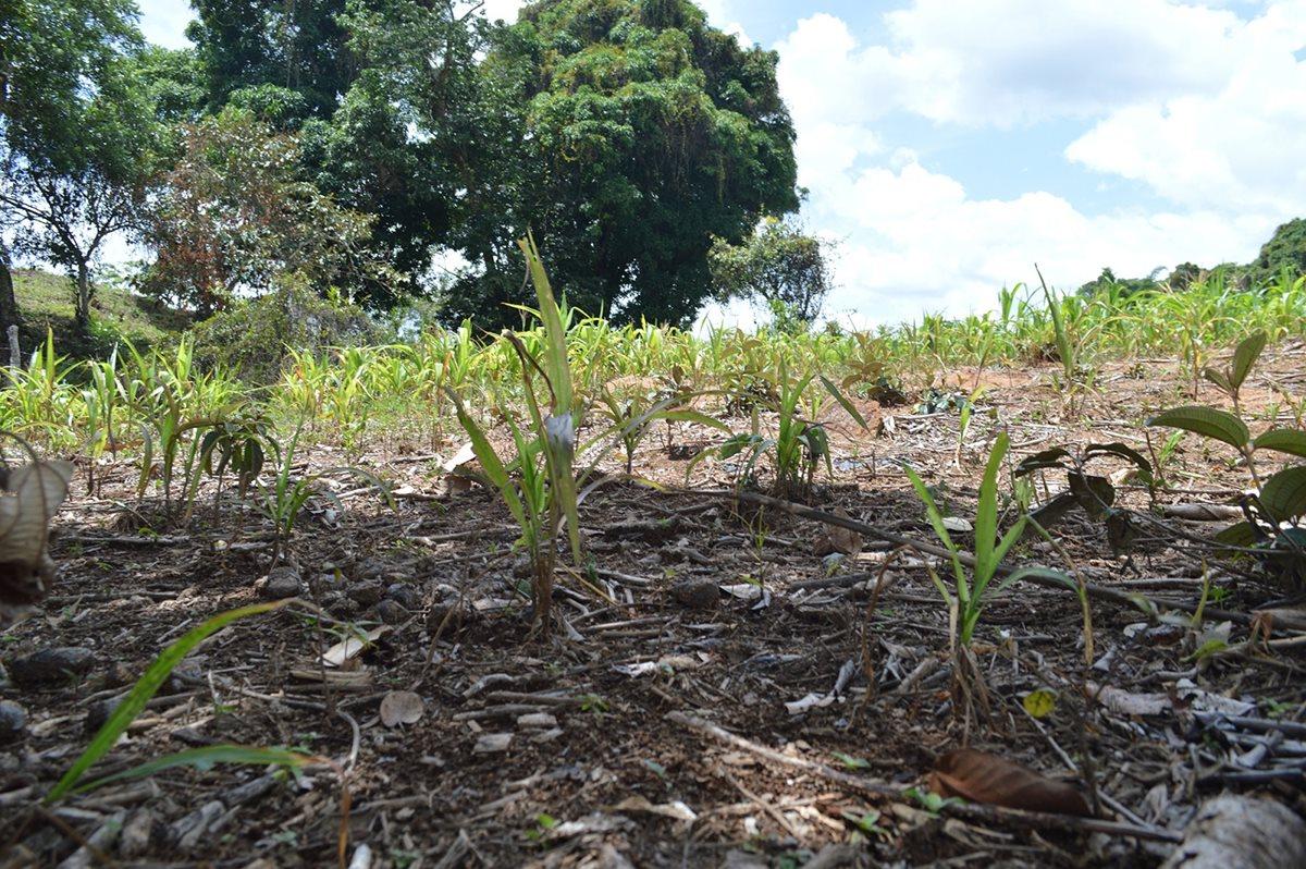 Más de Q80 millones en cultivos se pierden por la sequía en Chiquimula