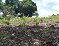 Terreno en donde los cultivos de maíz se perdieron debido a la extensa canícula, en Chiquimula. (Foto Prensa Libre: Mario Morales)