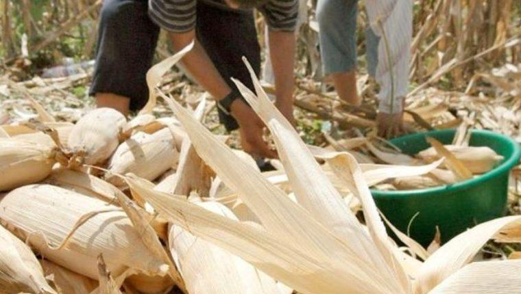 La FAO explicó en un comunicado que el costo del quintal de maíz se incrementó en Q10 entre el 29 de julio y 12 de agosto último. (Foto Prensa Libre: Hemeroteca)