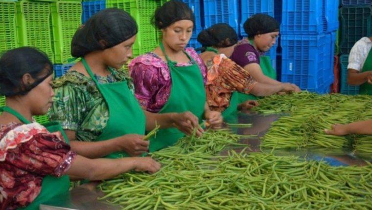Existen cientos de encadenamientos rurales que ya venden sus productos a grandes empresas promoviendo así de forma directa e indirecta las exportaciones de productos y servicios guatemaltecos. (Foto Prensa Libre: Agexport)