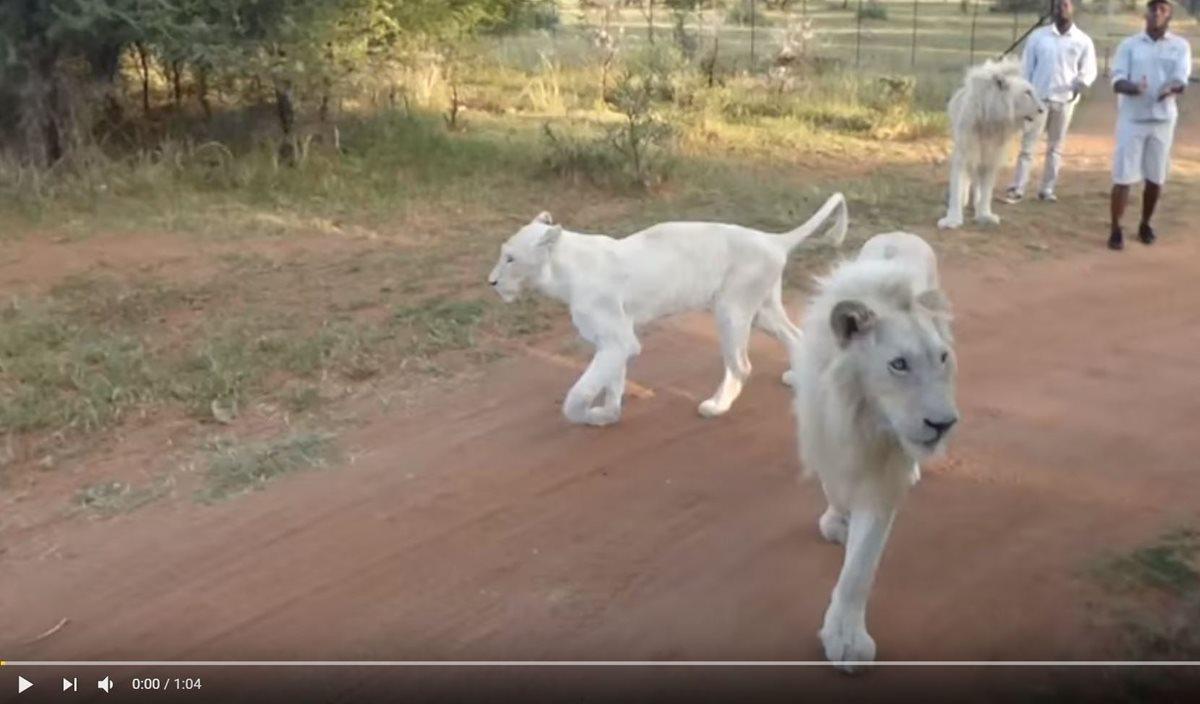 Zeus es uno de los leones blancos que han sido criados por humanos en el Parque Nacional Kruger, en Sudáfrica. (Foto Prensa Libre: Youtube Kruger National Park)